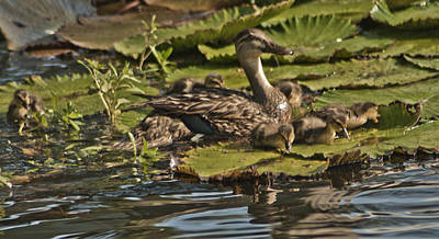 Mother Duck And Little Ducklings On A Pad Original by John Wright
