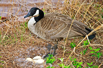 Mother Goose At Nest Print by Susan Leggett
