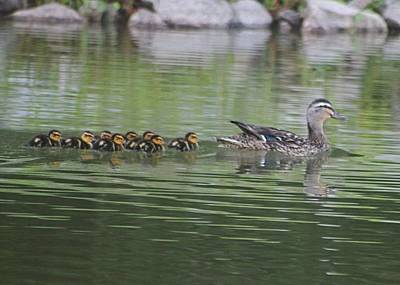 Mother Mallard And Ducklings Print by Jeanne Kay Juhos