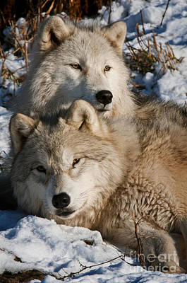 Black. Arctic Wolf Photograph - Mother's Love by Michael Cummings