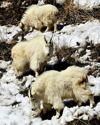 Mountain Goat Trio Print by Greg Norrell