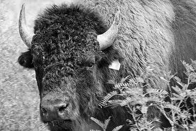 Mr Goodnight's Bison Print by Melany Sarafis