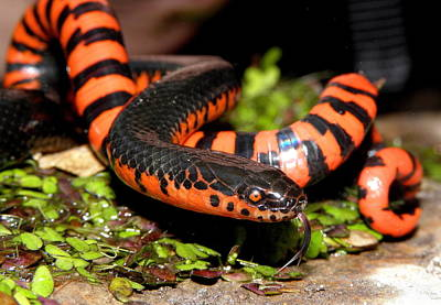 Mud Snake Print by Griffin Harris