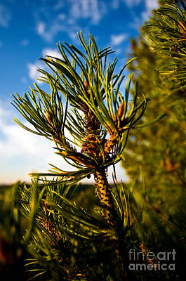 Mugo Pine Branch Print by Terry Elniski