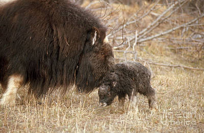 Musk Ox Cow And New Calf Print by Joseph Rychetnik