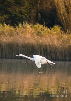 Swan Photograph - Mute Swan by Andrew  Michael