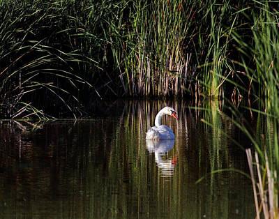 Jim Nelson Photograph - Mute Swan by Jim Nelson