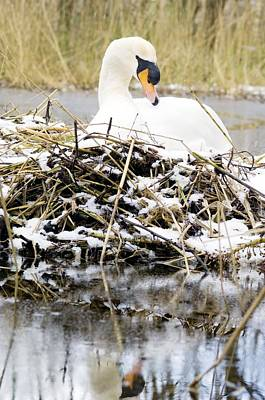 Mute Swan Sitting On A Nest In The Snow Print by Duncan Shaw