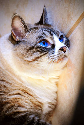 Fur Photograph - My Blue Eyed Cat by Robert Smith