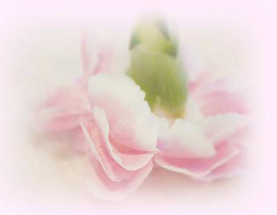 Pink Carnation Photograph - My Romance by Kathy Bucari