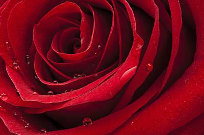 My Rose Original by Ivan Vukelic