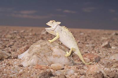 Namaqua Chameleon Chamaeleo Namaquensis Print by Michael & Patricia Fogden