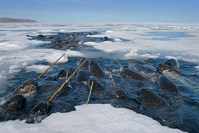 Monoceros Photograph - Narwhals Are Resting In A Hole by Paul Nicklen