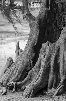 Natural Cypress Print by Carolyn Marshall