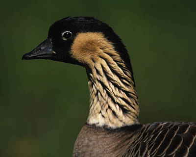 Introduction Photograph - Nene by Tony Beck