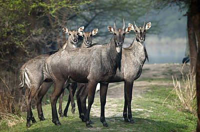 Y120817 Photograph - Nilgai by Photography by Masood Hussain