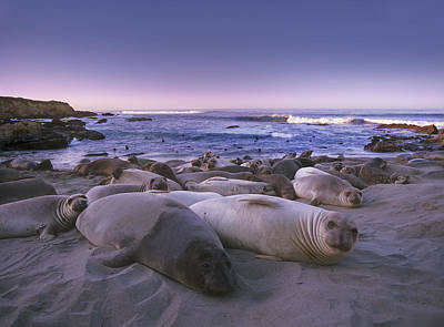 Of Big Sur Beach Photograph - Northern Elephant Seal Juveniles Laying by Tim Fitzharris