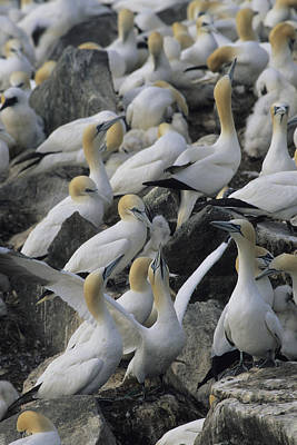 Northern Gannets And Chicks Roost Print by Norbert Rosing