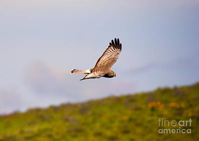 Hawk Photograph - Northern Harrier Flight by Mike  Dawson