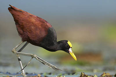 Northern Jacana Foraging Costa Rica Print by Tim Fitzharris