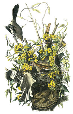 Mockingbird Painting - Northern Mockingbird by John James Audubon