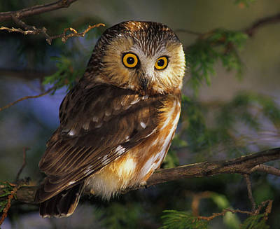 Northern Saw-whet Owl Print by Tony Beck