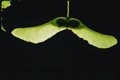 Norway Maple Seeds With Light Print by Brian Gordon Green