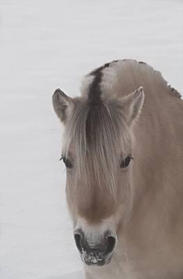 Horse Portrait Photograph - Norwegian Fjord by Odd Jeppesen