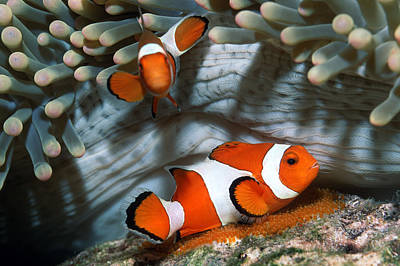 Clown Anemonefish Photograph - Ocellaris Anemonefish Laying Eggs by Georgette Douwma