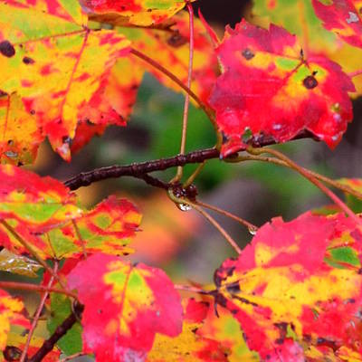 October Maple Print by Mandi Howard