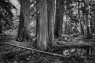 Old Growth Cedar Trees - Montana Print by Daniel Hagerman