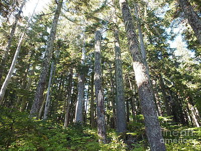 Old Growth Forest Print by Shannon Ireland
