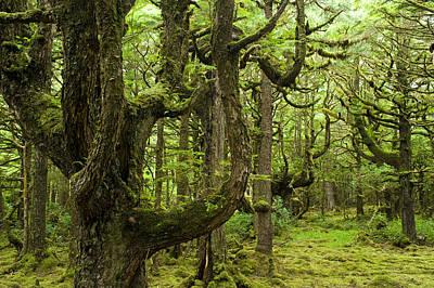 Old Growth Hemlock Trees, Naikoon Print by David Nunuk