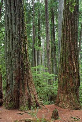 Old Growth Pine Forest, Tree Trunks Print by Kaj R. Svensson