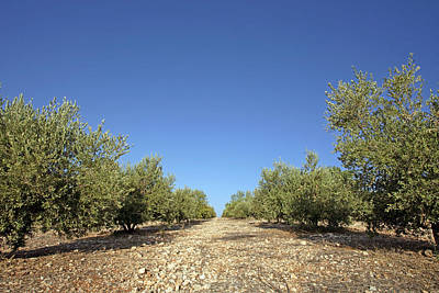 Olive Grove Print by Carlos Dominguez