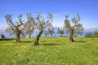 olive grove on Lake Gardan Print by Joana Kruse