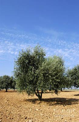 Olive Tree In Provence Print by Bernard Jaubert