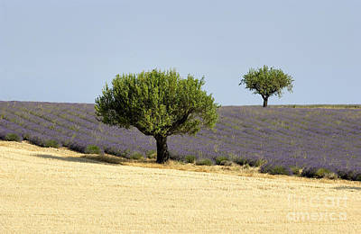 Olives Tree In Provence Print by Bernard Jaubert