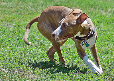 Dog Photograph - On The Run by Lisa Phillips