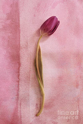 Pink Tulips Photograph - One - S02cr2t02b by Variance Collections
