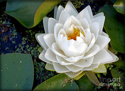 Optical Illusion In A Waterlily Print by Kaye Menner