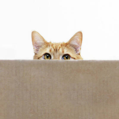 Hiding Photograph - Orange Cat Peeping Out From Cardboard Box by Kevin Steele