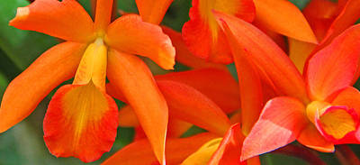 Orange Cattleya Orchid Print by Becky Lodes