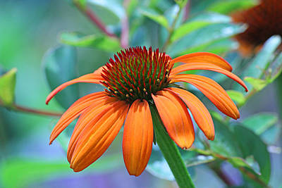 Photograph - Orange Coneflower by Becky Lodes