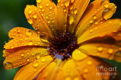 Orange Daisy In The Rain Print by Thomas R Fletcher