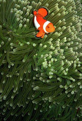 Clown Fish Photograph - Orange Fish With Yellow Stripe by Perry L Aragon