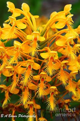 Orange Fringed Orchis Print by Barbara Bowen