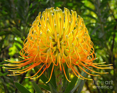 Orange Protea Flower Art Print by Rebecca Margraf
