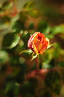 Orange Rosebud Print by Rebecca Sherman