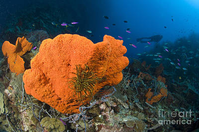 Orange Sponge With Crinoid Attached Print by Steve Jones